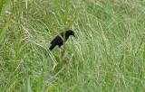 Pale-eyed Blackbird2