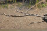 Sand-coloured Nighthawk2