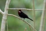 Silver-beaked Tanager3
