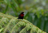 Silver-beaked Tanager4