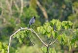 Violaceous Jay2
