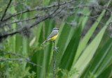 Tropical Kingbird2