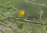 Grassland Yellow-Finch3