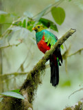 Trogons and Quetzals