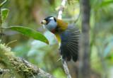 Toucan Barbet