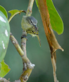 Slender-footed Tyrannulet