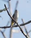 White-lored Euphonia