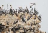 Seabirds Isla Pelado