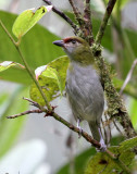 Black-billed Peppershrike