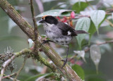 White-winged-Brush-Finch.jpg