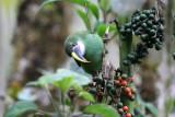 Andean Toucanet
