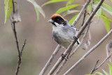 Bay-crowned Brush-Finch