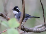 Black-capped Sparrow