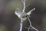 Southern Beardless-Flycatcher
