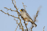 Cinereous Finch