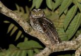 Koepcke's Screech-Owl