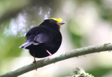 Golden-winged Manakin