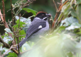 Slaty Brush-Finch