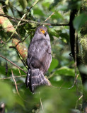 Barred Forest-Falcon