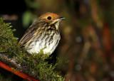 Birds of Peru