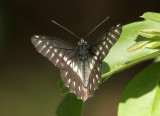 Butterfly-Quito1a