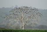 Neotropic Cormorant tree