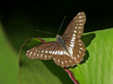Butterfly Quito