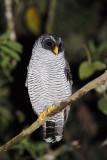 Black-and-white-Owl