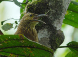Strong-billed Woodcreeper2