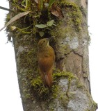 Strong-billed Woodcreeper3