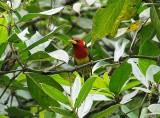 Red-headed Barbet2