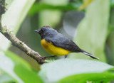 Slate-throated Whitestart2