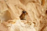 Rock Hyrax, Israel.