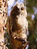 Owl (Long-eared), Israel.