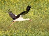 White Stork, Israel.