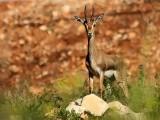 Gazelle, Israel.