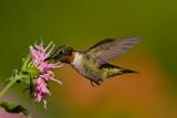ruby_throated_hummingbirds
