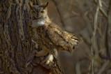 Great Horned Owl in Butterbredt Springs