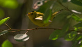 Migrating Fall Warblers