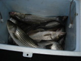 2008 Summer Season - Chesapeake Bay Fishing with Down Time Charters