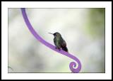 Purple perch