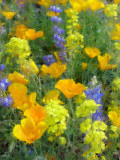 Desert Wildflowers #2Globe, AZ