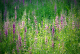 Purple Loosestrife #1Bedford, NH