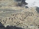 Nesting Adelie penguins .JPG