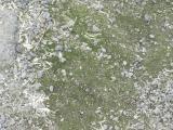 Real live vegetation living on penguin poop at Royds.JPG