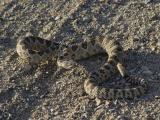 Rattlesnake_02.jpg