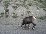 Two goats along Alaska Hiway