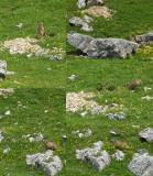 Diois-Marmottes.jpg