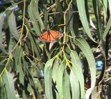 Monarch Butterfly- Feb 2006