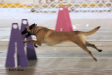 Limbo does flyball